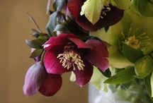 Hellebores / Seen early Spring, keeping good company with another of my favourites - Snowdrops / by Carmen Mastin