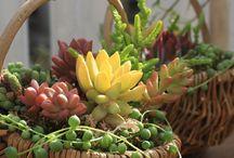 succulent baskets