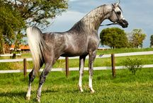 Beauty photos of arabians. ♥
