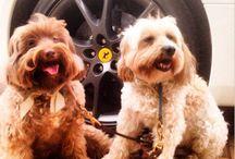 Car Puppy
