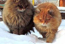 Siberian farm #cats Сибирские деревенские #кошки / https://www.youtube.com/channel/UCXCMBFGCs75g2fqD5KaxEUg?view_as=subscriber