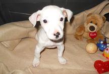 Diva, Jack Russell Terrier  / Jack Russell Terrier