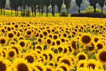 Sunflower Scenery