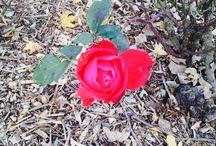Ma plus belle rose du jardin