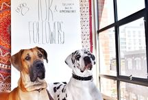 Our Pack - Pin Your Dane! / Pin your beautiful Danes for the whole world to see in this board!  Send us a message on Pinterest or leave us a comment on a pic if you want to be added to the board! <3