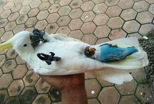 Birds  【You're sweet friends】 / 増えすぎたので近日中にインコ・おかめ・オウム・コザクラとボタンの4種類に細分化予定。