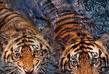 tigres/lions