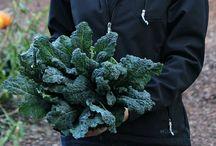 Growing - Kale