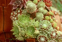 Succulents are Snazzy in the Garden