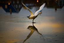 Iceland birds / my way