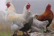 Animals: Chicken Sh**!