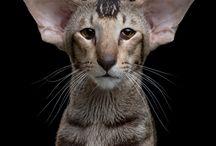 Oriental short hair cats