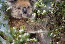 Ausztrália / A kola macik nagyon kedvesek