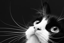 TUXEDO CATS / A board full of all shapes and sizes of black and white cats, commonly known as Tuxedo cats