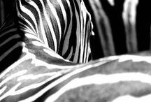 ZEBRA | PHOTOGRAPHY