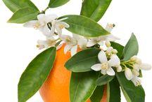 portakal-limon-mandalina çiçeği