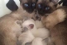 Pisici