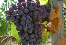 Grapes / Mostly Sangiovese grapes to make our Chianti And from this year we follow organic agriculture