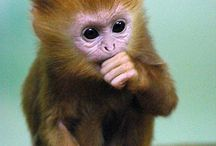 Monkeys / I love monkeys so if you do to then your on the right board!!!