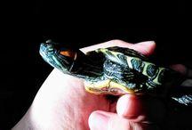 Tiny the Turtle