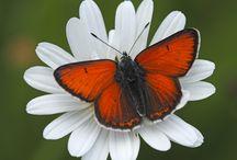 Butterflies - Coppers - Vuurvlinders