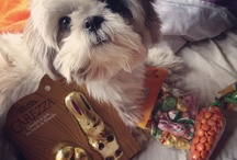 My lovely shih tzu