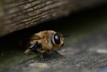 Bees © MirEvers