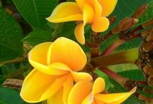 Frangipani flower / The board is collection of frangipani flowers