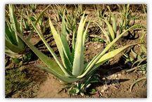 Herbs and Plants / Tanaman tanaman dan pangan bernutrisi