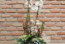 Orquideas Phalaenopsis / Nuestra colección de Orquideas Phalaenopsis
