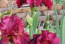 İris / Renkli irisler