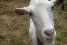 kozy , owce i barany