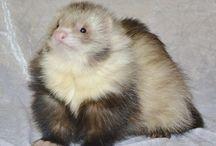 Angora Ferret