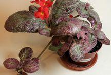 My houseplants. / Orchids, minisinningii, Episcia.