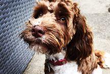 Cockapoo dog photos