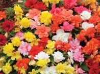 TRAILING BEGONIAS / Varieties and Colour