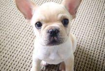 Bulldog bèbik
