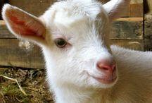 goats / by Edward & Teresa Magill