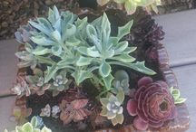 succulents in my yard