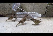 curde vrabii
