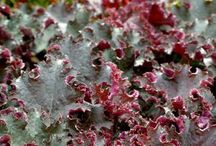 Heuchera I Grow