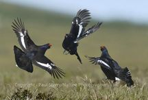 Bird Behaviour / Bird Behaviour is the fourth category in Bird POTY and here are some examples of the type of image we are looking for. The judges will be looking for an image that best depicts the unique aspects of bird behaviour and that evokes an emotional response. The manic display of lekking Black Grouse, the courtship ritual of Great Crested Grebes, the humble singing Robin or the sight of a large Starling murmuration are all good examples of possible subjects for this category.