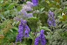 Blue Perennials for Shade / Discover new perennials by color and light requirements to make creating your garden simpler.