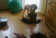 Beagle és a házimunka :)