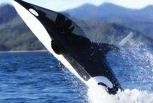vaya orca