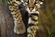 Big beautiful cats / Pictures of beautiful cats; lions, tigers, ocelots, cheetahs, etc.