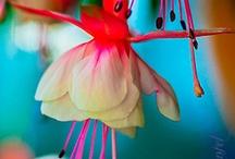 Fuschia fleur