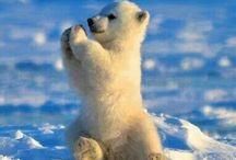 Bébé ours polaires
