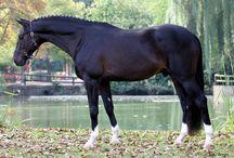 equestrian || black beauties