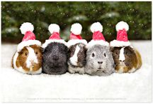 Holiday wishes from our cavy friends at the Guinea pig Calendar Company! / The cutest holiday themed guinea pig pictures out there!  Happy Holidays!